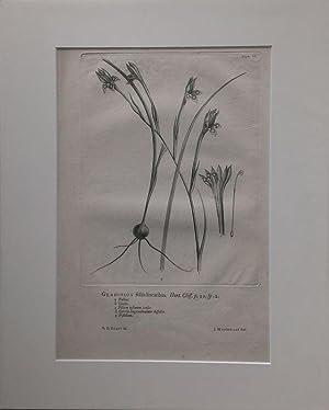 Wandelaar - Gladiolus foliis linearibus. Kupferstich von