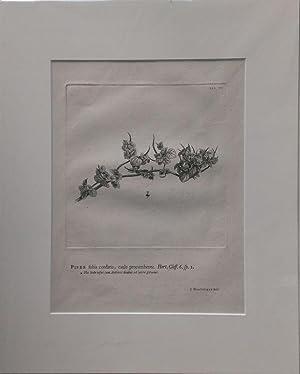 Piper foliis cordatis, caule procubente. Kupferstich von