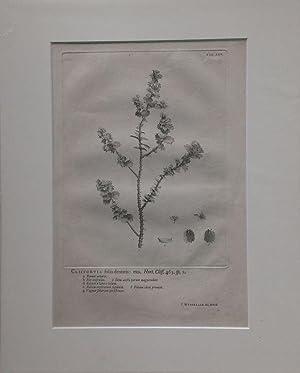 Wandelaar - Cliffortia foliis dentatis. Kupferstich von