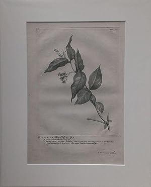Diervilla Kupferstich von J. Wandelaar aus Linné: