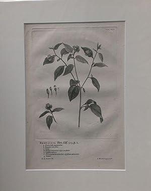 Browallia. Kupferstich von J. Wandelaar nach G.D.