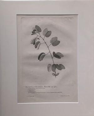 Bauhinia caule aculeato. Kupferstich von J. Wandelaar