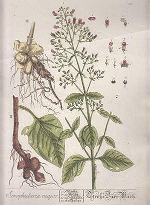 Scrophularia major - Große Dürr-Wurtz. Kol. Kupferstich