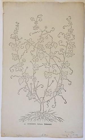 Momordica Balsamina. Balsamäpfel. Holzschnitt aus Brunfels, Otto: