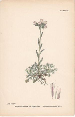 Gnaphalium dioicium, var. hyperboreum. Mountain Everlasting, var.