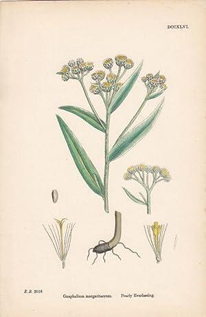 Gnaphalium margaritaceum. Pearly Everlasting. Kol. Lithographie DCCXLVI