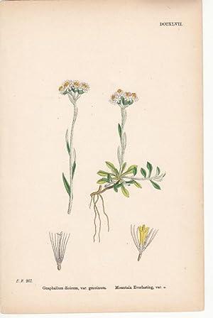 Gnaphalium dioicium, var. genuinum. Mountain Everlasting, var.