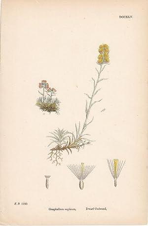 Gnaphalium supinum. Dwarf Cudweed. Kol. Lithographie DCCXLV