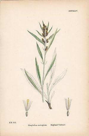 Gnaphalium norvegicum. Highland Cudweed. Kol. Lithographie DCCXLIV