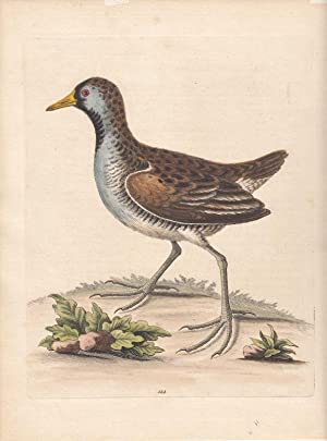 The Little American Water Hen. Gallinula minor, Canadensis. Kol. Kupferstich Nr. 144 aus: Edwards...