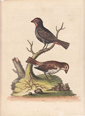 The Black or Dusky Sparrows. Passeres nigri vel fusci. Kol. Kupferstich Nr. 353 aus: George Edwar...