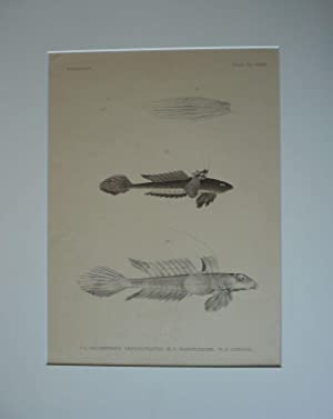 Spinnenfische. - I-II: Callionymus longicaudatus, III: Callionymus
