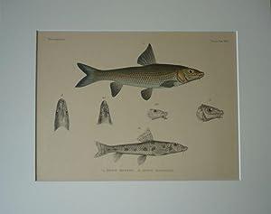 Karpfenfische. - I: Gobio barbus, II: Gobio