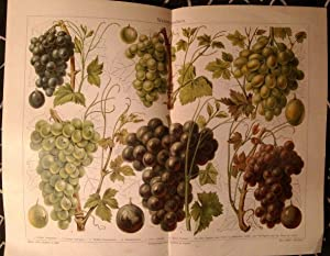 Alter historischer Druck Weintrauben Chromolithographie 1908