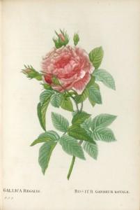 Les Roses peintes par J.P. Redouté.: REDOUTE, Pierre-Joseph