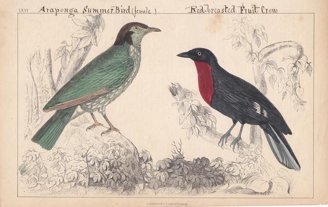 Araponga Summer Bird, Red-Breasted Fruit Crow, handkolorierter Stahlstich um 1860 mit zwei Exemplare, Blattgröße: 16 x 25,2 cm, reine Bildgröße: 14 x (bi_17868781997) photo