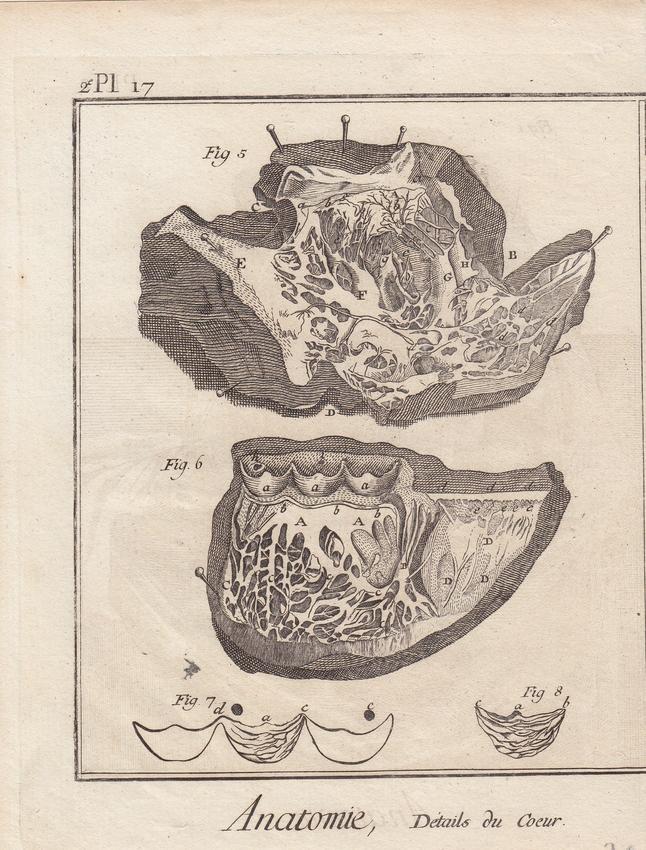 Anatomie, Details du Coeur, Herzmuskel, original Kupferstich um 1750 ...