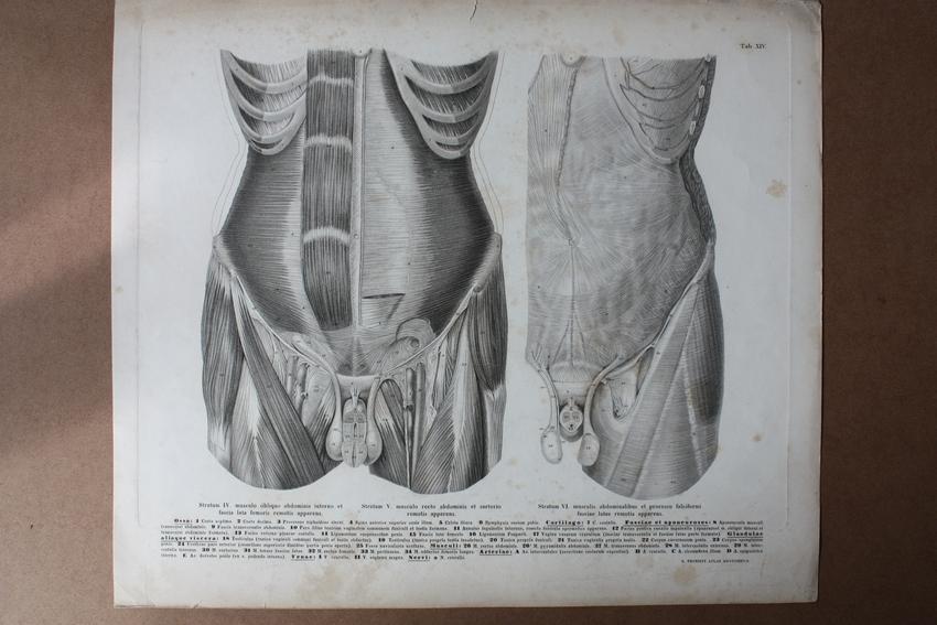 Anatomie, Skelett, Bauchmuskeln, Rippen, Hoden, Penis, Becken ...
