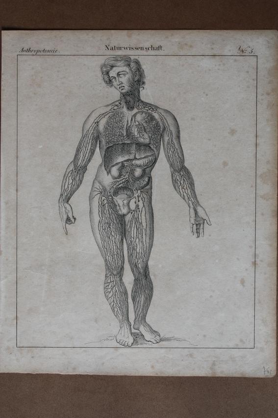 Anthropotomie, Anatomie, Humanbiologie, Naturwissenschaft ...