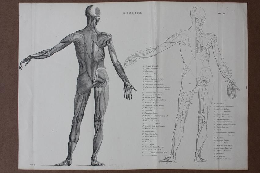 Muscles, Muskeln, Anatomie, Rücken, Stahlstich um 1895 mit der ...