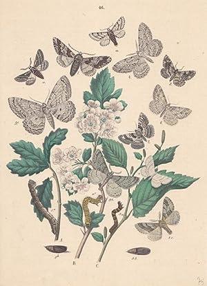 Schmetterlinge und ihre Entwicklungsstadien, altkolorierte Lithographie um 1875 aus dem Haus Emil ...