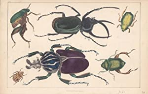 Käfer, altkolorierte Lithographie um 1848 mit der Abbildung von 6 Käfern von A. Fullarton...
