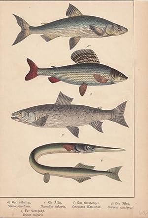 Fische Schautafel, altkolorierte Lithographie um 1890, Blattgröße: 29,3 x 20,3 cm, reine...