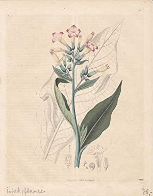 Virginischer Tabak, altkolorierte Lithographie 1844 aus dem Haus C. Schach, Blattgröße: ...