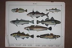 Fische, Ichthyologie, Chromolithographie 1886 mit 8 abgebildeten Arten, Blattgröße: 31,5...