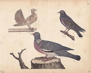 Tauben, altkolorierte Lithographie um 1828 mit drei abgebildeten Vögeln, Blattgröße...