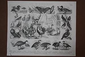 Hausthiere Land- und Hauswirtschaft, Hühner, Tauben, Gänse, Stahlstich um 1880 mit 34 ...