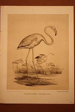 Rosenfarbener Pinguin, schöne Lithographie um 1856 als Beilage zu M. Auer s Faust, Nach dem ...