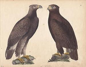 Goldadler, altkolorierte Lithographie um 1828 mit zwei Exemplaren, Blattgröße: 19,3 x ...
