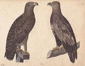 Adler, altkolorierte Lithographie um 1828 mit zwei Exemplaren, Blattgröße: 19 x 24 cm, ...