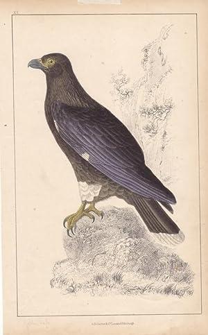 Golden Eagle, altkolorierter Stahlstich um 1870 aus dem Haus A. Fullarton & Co., Blattgrö&...