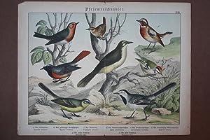 Pfriemenschnäbler, Rotkehlchen, Rotschwänzchen, Bachstelze, Chromolithographie um 1890 ...