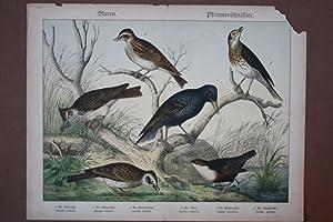 Staren, Pfriemenschnäbler, Lerche, Star, Amsel, Drossel, Chromolithographie um 1890 mit sechs ...