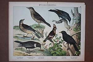 Pfriemenschnäbler, Drossel, Amsel, Chromolithographie um 1890 mit sechs Exemplaren, Blattgr&...