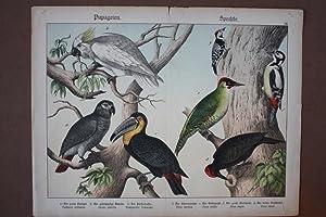 Papageien, Spechte, Kakadu, Chromolithographie um 1890 mit sieben Exemplaren, Blattgröße...