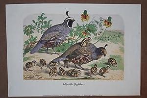 Californische Repphühner, Typographischer Farbendruck um 1865, Blattgröße: 21,8 x ...