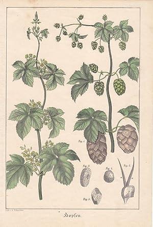 Hopfen, Schlingpflanzen, Dolden, Bier, altkolorierte Lithographie um 1860 mit Darstellung der ...