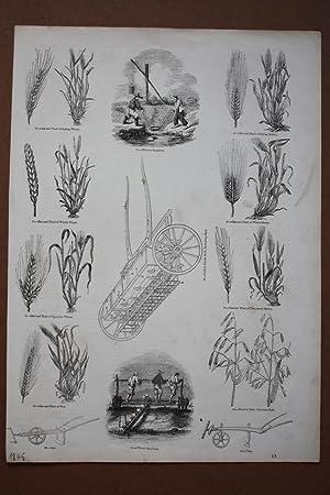 Weizen, Roggen, Gerste, Hafer, Getreide, Holzstich 1845 mit mehreren Einzelabbildungen, Blattgr&...