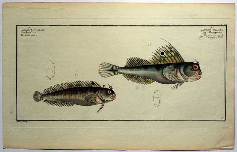 Allgemeine Naturgeschichte der Fische. Daraus Tafel Nr.: Bloch, Marcus Elieser: