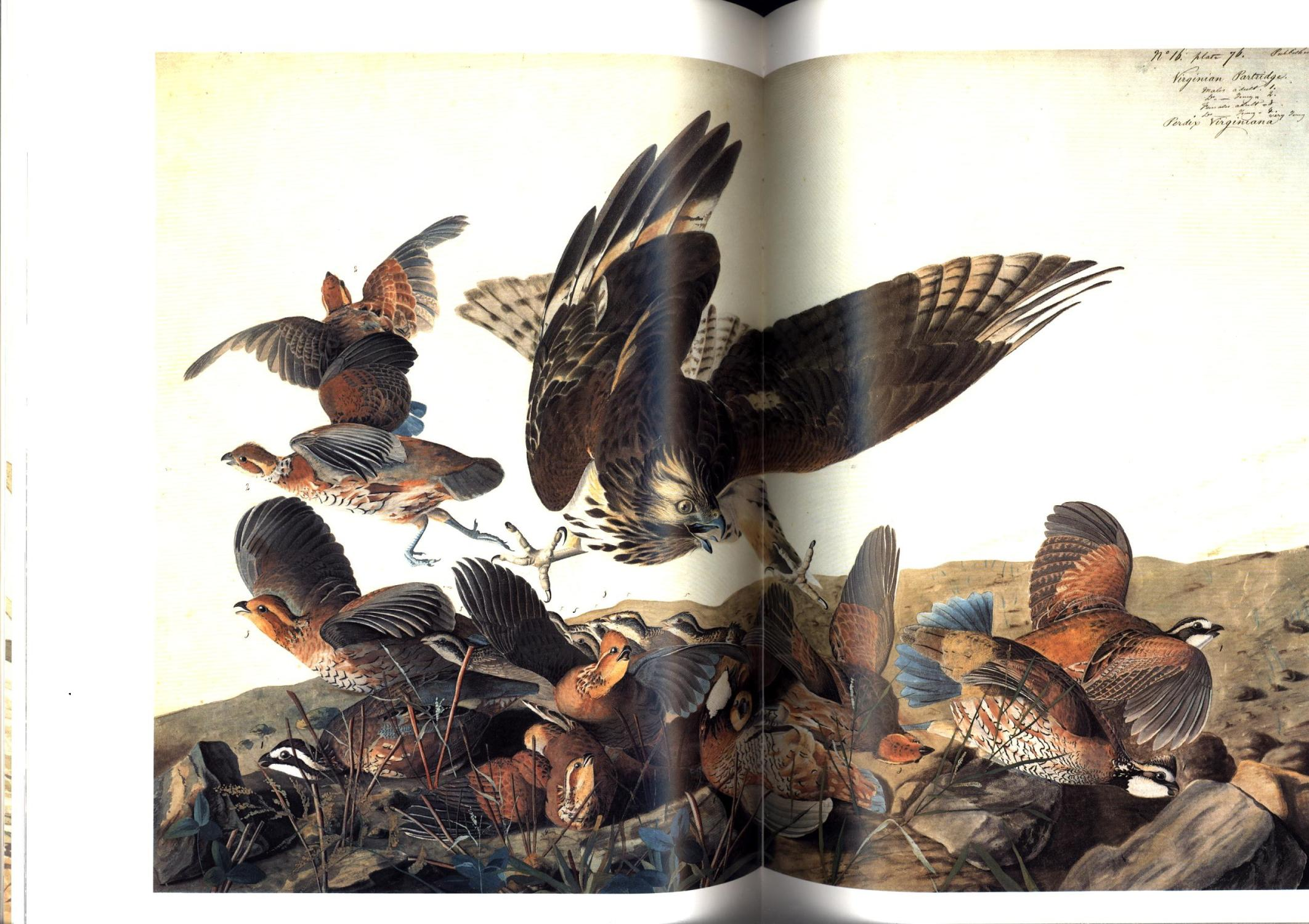 The Watercolors for 'The Birds of America': Audubon, John James / Annette Blaugrund and ...