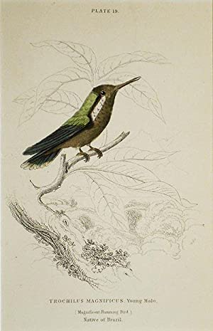 Trochilus Magnificus, Young Male (Magnificent Humming Bird) Native of Brazil [matted hand-colored...