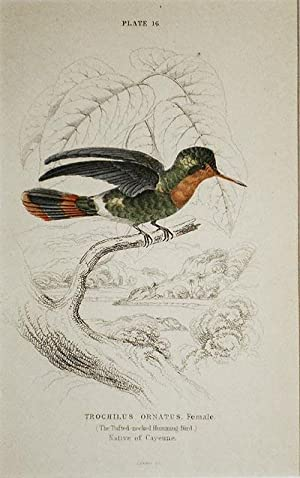 Trochilus Ornatus, Female (The Tufted-neck Humming-Bird) Native of Cayenne [matted hand-colored s...
