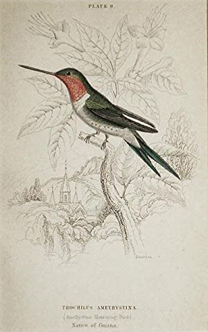 Trochilus Amethystina (Amethystine Humming-Bird) Native of Guiana [matted hand-colored steel engr...