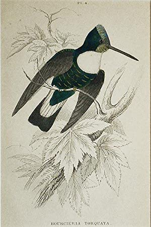 Bourcieria Torquata [matted hand-colored steel engraving of a hummingbird from Sir William Jardin...