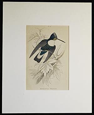 Bourcieria Torquata [matted hand-colored steel engraving of a hummingbird from Sir William Jardine&...