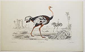 Autruche [handcolored copperplate engraving from a painting of an ostrich]